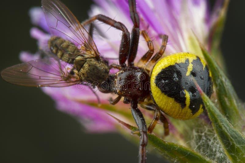 Λίγη μέλισσα μελιού που πιάνεται από την αράχνη στοκ εικόνες