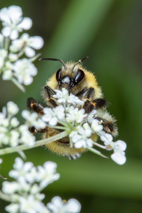 Λίγη μέλισσα μελιού που συλλέγει τη γύρη στα άσπρα λουλούδια στοκ εικόνες