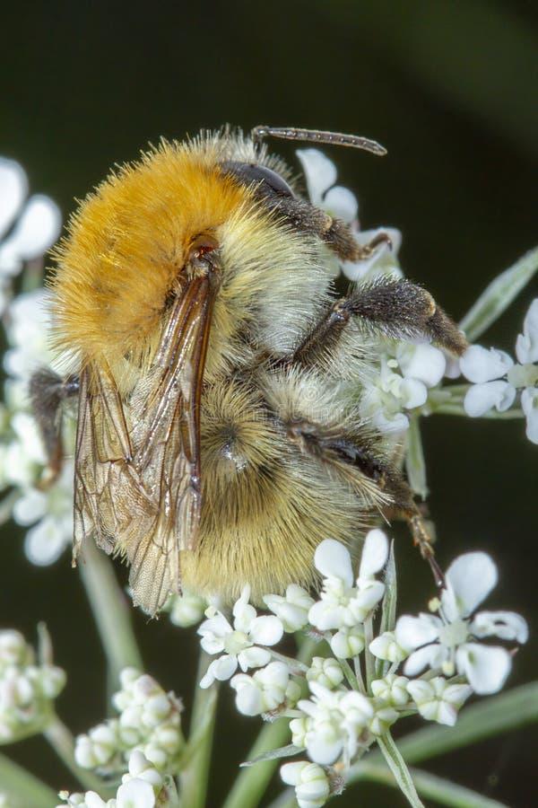 Λίγη μέλισσα μελιού που συλλέγει τη γύρη στα άσπρα λουλούδια στοκ εικόνα με δικαίωμα ελεύθερης χρήσης