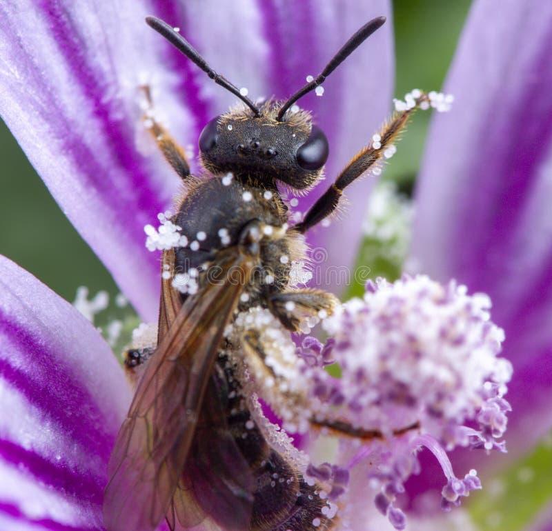 Λίγη μέλισσα που παίρνει ένα κόμμα σιταριού γύρης σε ένα ρόδινο λουλούδι στοκ εικόνες