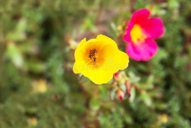 Λίγη μέλισσα στο λουλούδι Portulaca στοκ εικόνες
