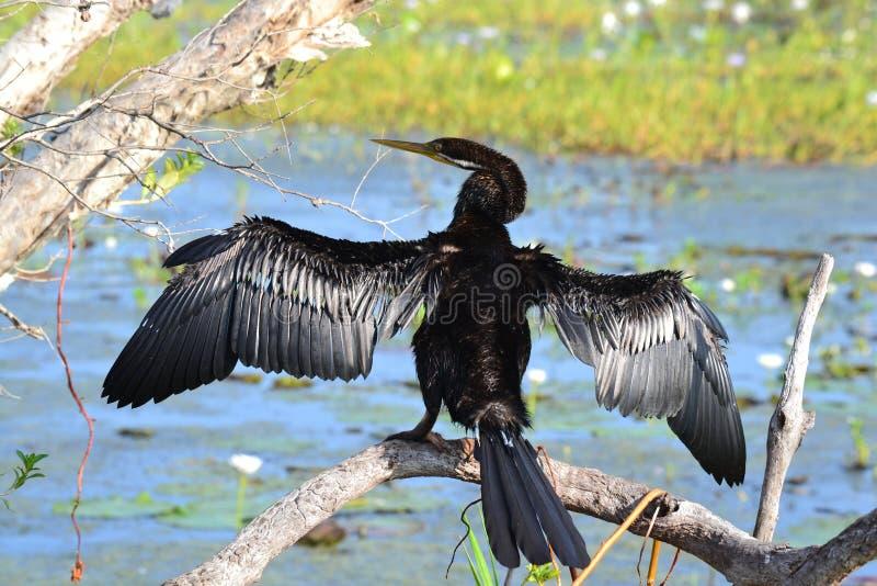 Λίγη μαύρη ξήρανση κορμοράνων στον ήλιο σε Kakadu στοκ εικόνες
