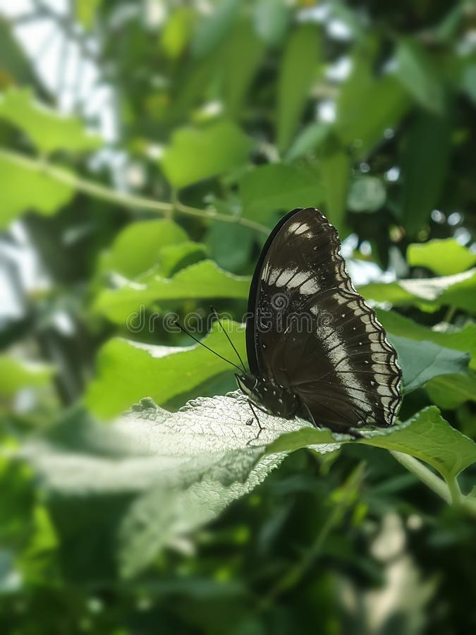 Λίγη μαύρη πεταλούδα στα πράσινα φύλλα στον κήπο στοκ φωτογραφία