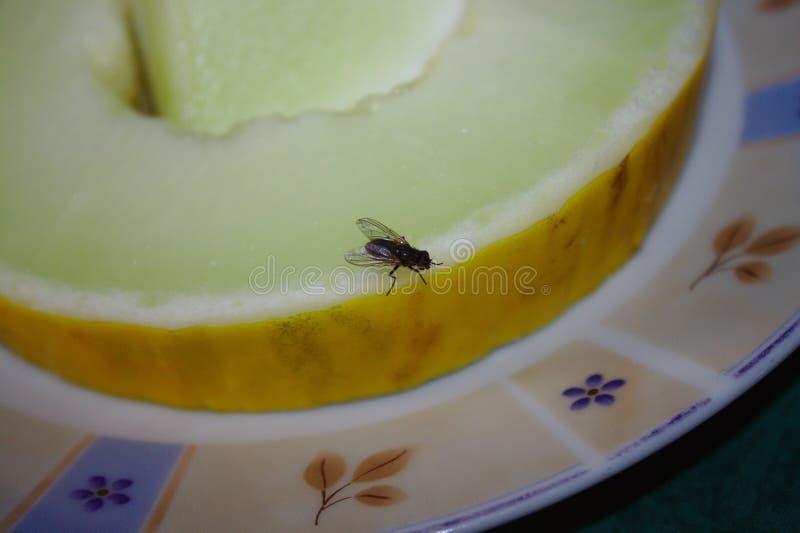 Λίγη μύγα σε ένα πεπόνι στοκ φωτογραφίες με δικαίωμα ελεύθερης χρήσης