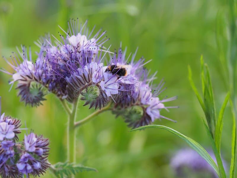 Λίγη bumble μέλισσα που ψάχνει το νέκταρ στοκ φωτογραφία με δικαίωμα ελεύθερης χρήσης