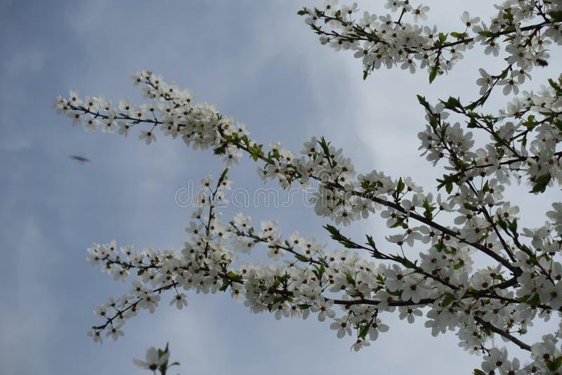 Λίγοι κλάδοι του ανθίζοντας δέντρου cerasifera Prunus ενάντια στο νεφελώδη ουρανό στοκ φωτογραφία με δικαίωμα ελεύθερης χρήσης