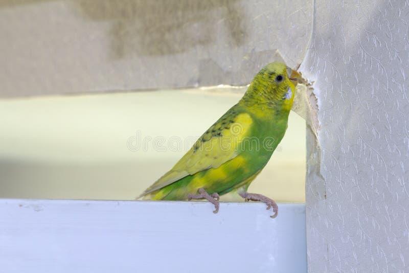 Λίγος κιτρινοπράσινος κυματιστός παπαγάλος, που κάθεται σε έναν κλάδο, ροκανίζει τα δάκρυα γρατσουνίζει τον τοίχο, προκαλώντας τη στοκ φωτογραφία με δικαίωμα ελεύθερης χρήσης