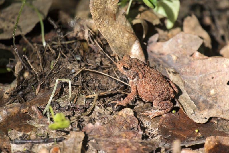 Λίγος κοινός φρύνος κάθεται στα ξηρά πεσμένα φύλλα της βαλανιδιάς στοκ εικόνες