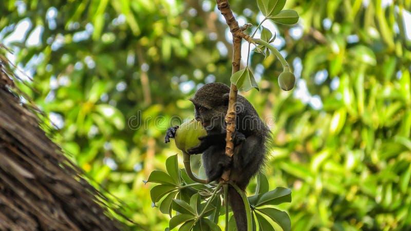 Λίγος μπλε πίθηκος που τρώει τα φρούτα αδανσωνιών στοκ φωτογραφίες