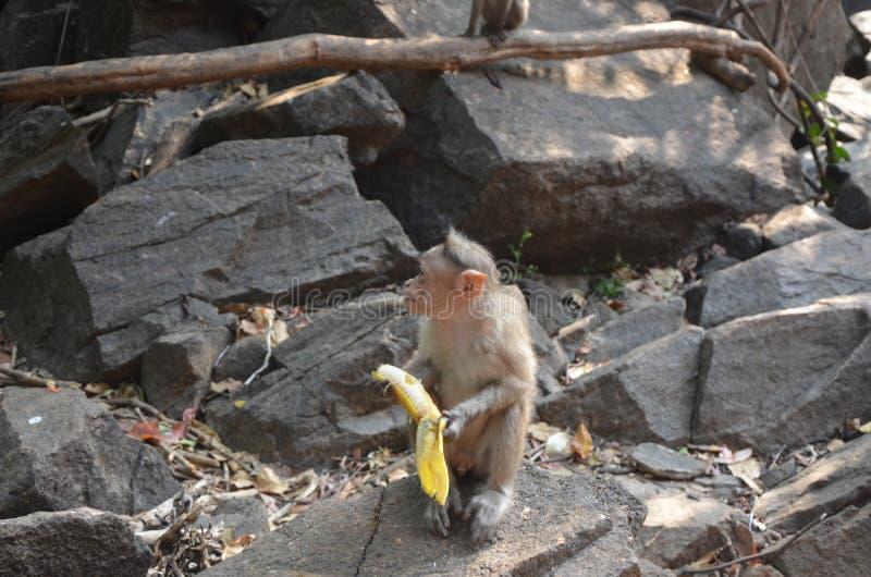 Λίγος πίθηκος που τρώει μια μπανάνα στοκ εικόνες με δικαίωμα ελεύθερης χρήσης