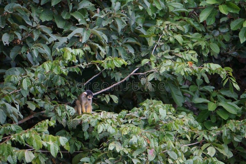 Λίγος πίθηκος στη νόστιμη περουβιανή ζούγκλα στοκ φωτογραφίες