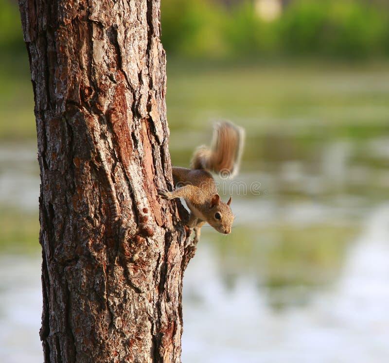 Λίγος σκίουρος σε ένα δέντρο στοκ φωτογραφία