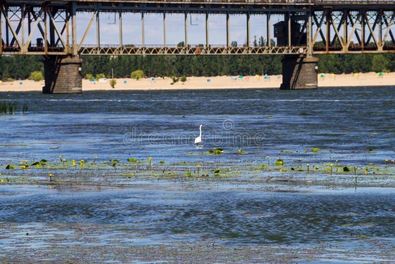 Λίγος τσικνιάς ή άσπρο garzetta Egretta ερωδιών στον ποταμό Dnieper στοκ φωτογραφίες