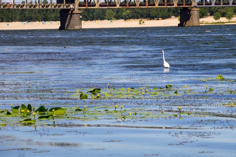 Λίγος τσικνιάς ή άσπρο garzetta Egretta ερωδιών στον ποταμό Dnieper στοκ εικόνες με δικαίωμα ελεύθερης χρήσης