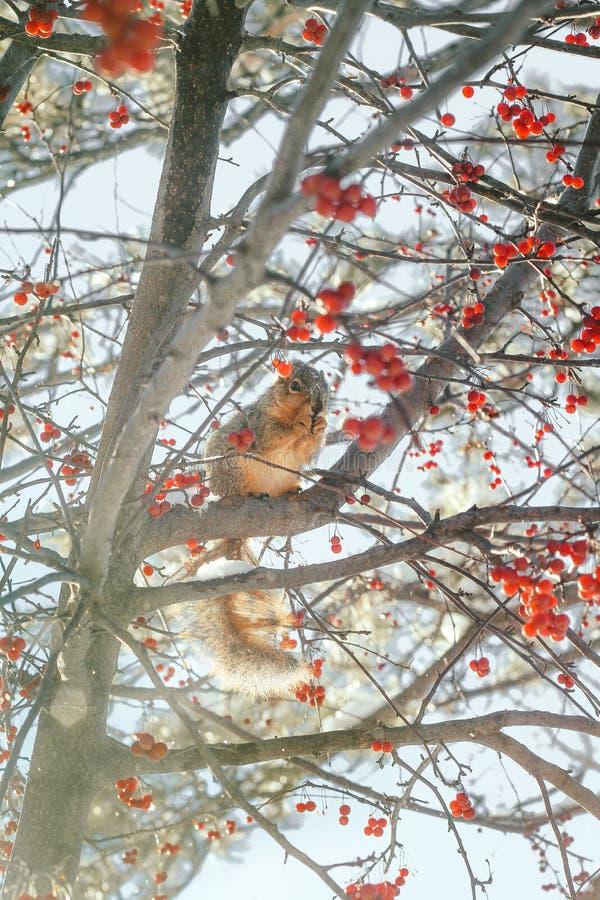 Λίγος χαριτωμένος σκίουρος σε έναν κλάδο ενός δέντρου σε Σιού πέφτει, νότια Ντακότα, ΗΠΑ στοκ εικόνες
