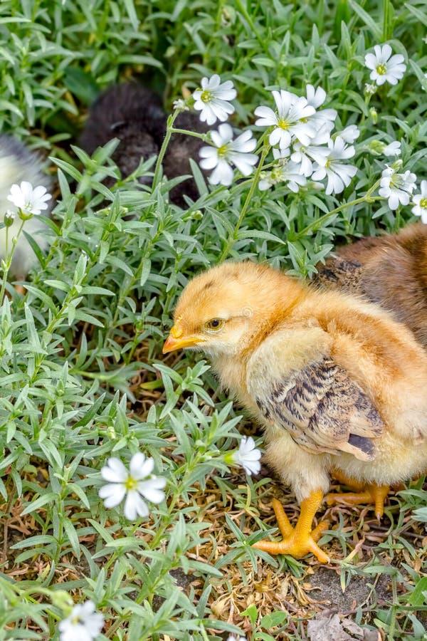 Λίγος χνουδωτός νεοσσός σε έναν περίπατο στον κήπο στοκ φωτογραφίες με δικαίωμα ελεύθερης χρήσης