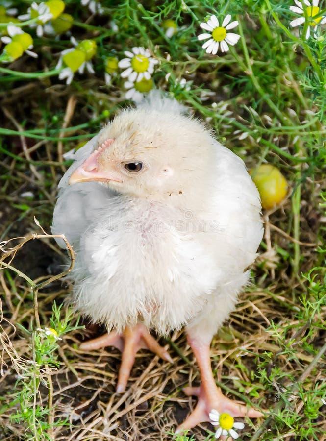 Λίγο άσπρο poulet κοτόπουλου στοκ φωτογραφίες