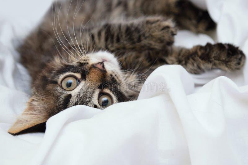 Λίγο γατάκι βρίσκεται σε ένα άσπρο κάλυμμα Αιλουροειδής κοιτάξτε E στοκ εικόνα με δικαίωμα ελεύθερης χρήσης