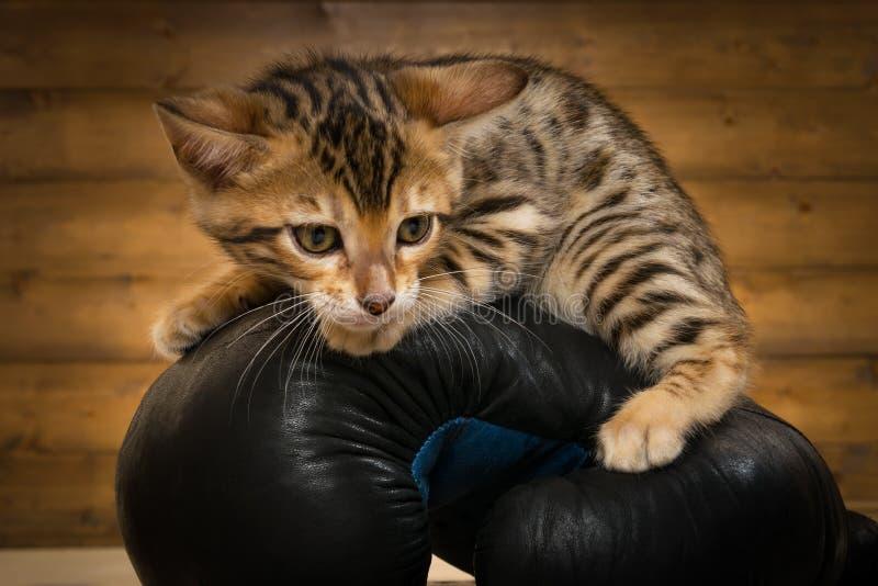 λίγο γατάκι κάθεται σε ένα γάντι για τον εγκιβωτισμό, κινηματογράφηση σε πρώτο πλάνο στοκ εικόνες με δικαίωμα ελεύθερης χρήσης