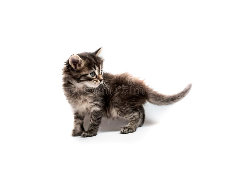 Λίγο γατάκι που απομονώνεται ριγωτό στοκ φωτογραφία με δικαίωμα ελεύθερης χρήσης