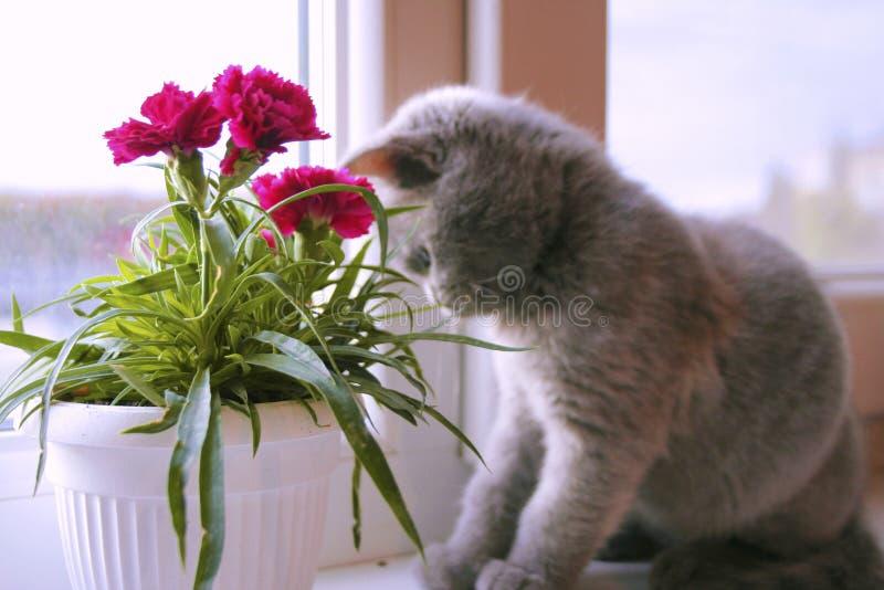 Λίγο γκρίζο γατάκι θαυμάζει το λουλούδι στοκ εικόνα