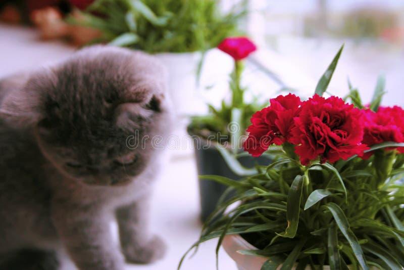 Λίγο γκρίζο γατάκι θαυμάζει το λουλούδι στοκ φωτογραφία