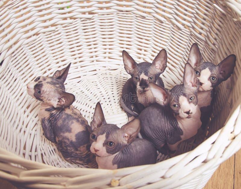 Λίγο γκρίζο γατάκι Sphynx μέσα στο καλάθι στοκ εικόνα με δικαίωμα ελεύθερης χρήσης