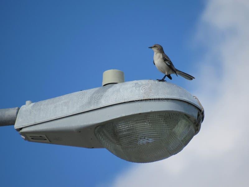 Λίγο γκρίζο πουλί Thrasher που στέκεται σε έναν υπερυψωμένο λαμπτήρα οδών στοκ φωτογραφίες με δικαίωμα ελεύθερης χρήσης