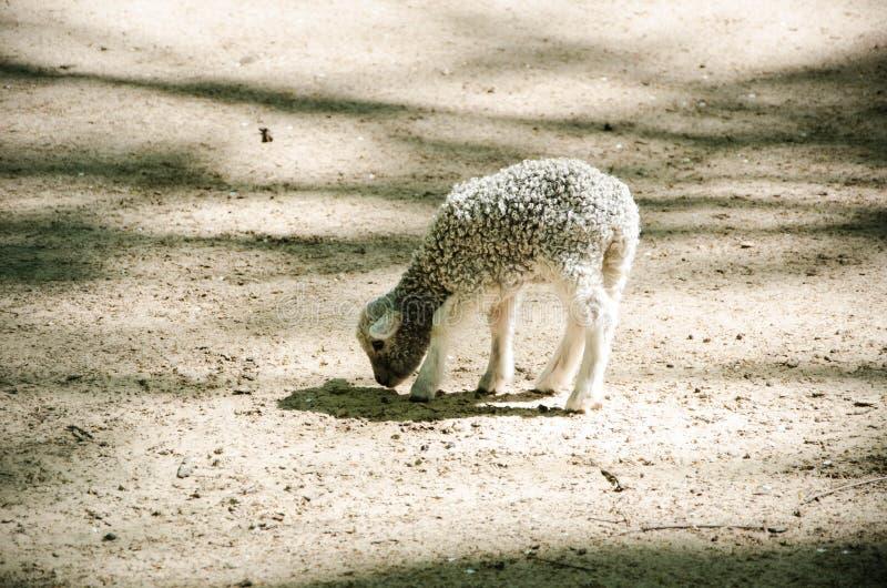 Λίγο γλυκό γκρίζο πρόβατο στο πάρκο στοκ εικόνα