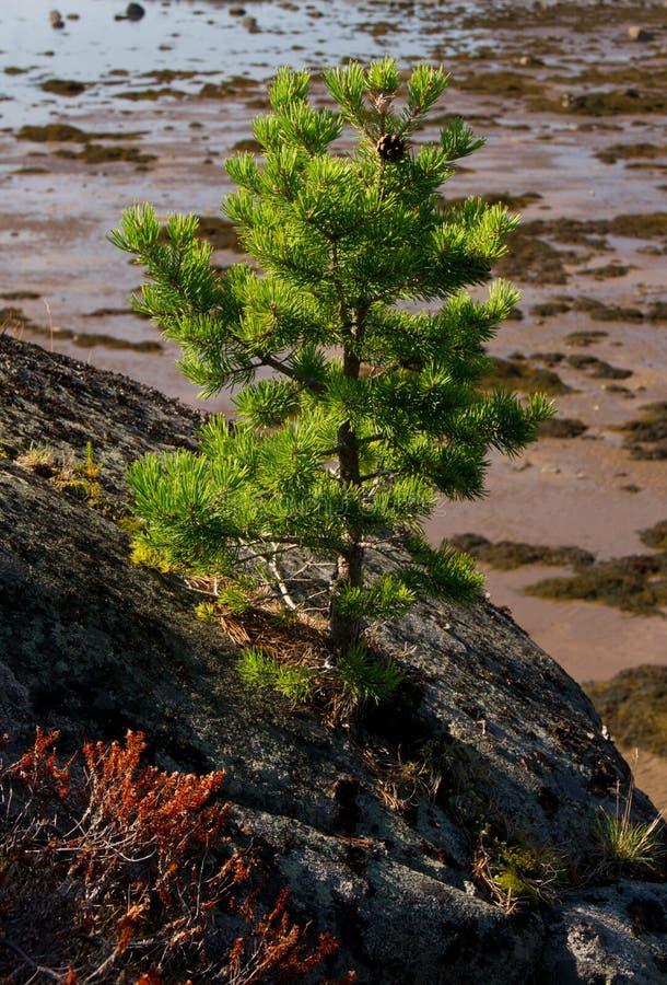 Λίγο δέντρο πεύκων στο βράχο του Unpopulated νησιού στοκ εικόνες