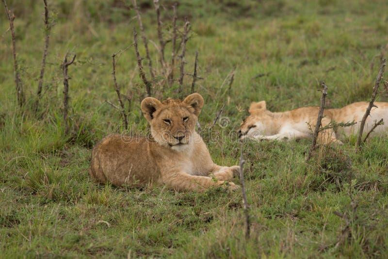 Λίγο λιοντάρι Cubs στοκ εικόνες