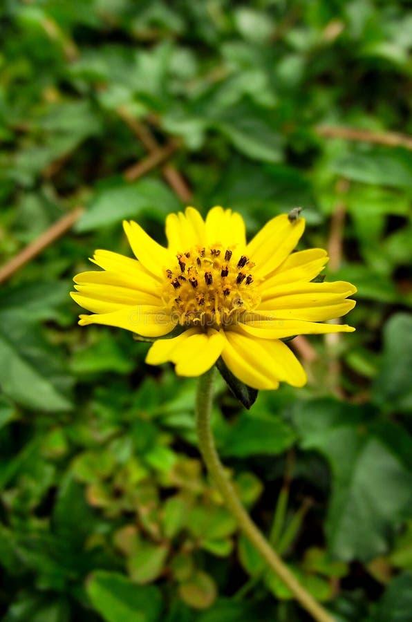 Λίγο κίτρινο λουλούδι αστεριών στον κήπο φύσης στοκ εικόνα με δικαίωμα ελεύθερης χρήσης