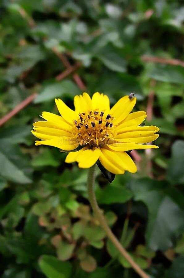 Λίγο κίτρινο λουλούδι αστεριών στον κήπο φύσης στοκ εικόνα