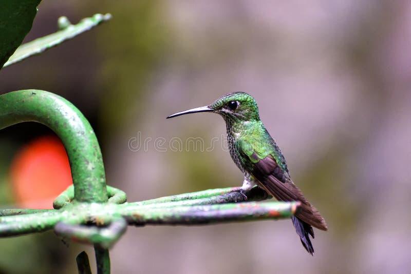 Λίγο κολίβριο στη ζούγκλα στοκ φωτογραφία με δικαίωμα ελεύθερης χρήσης