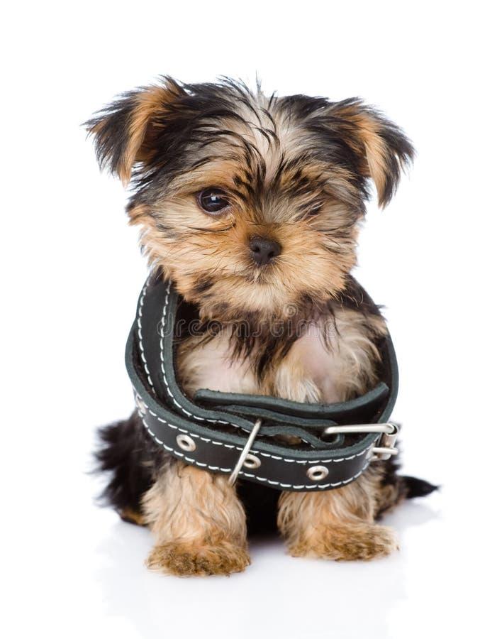 Λίγο κουτάβι τεριέ του Γιορκσάιρ που φορά το περιλαίμιο σκυλιών στοκ εικόνες με δικαίωμα ελεύθερης χρήσης