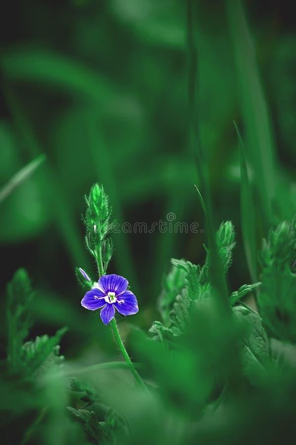 Λίγο μπλε λουλούδι σε ένα πράσινο υπόβαθρο στοκ εικόνα