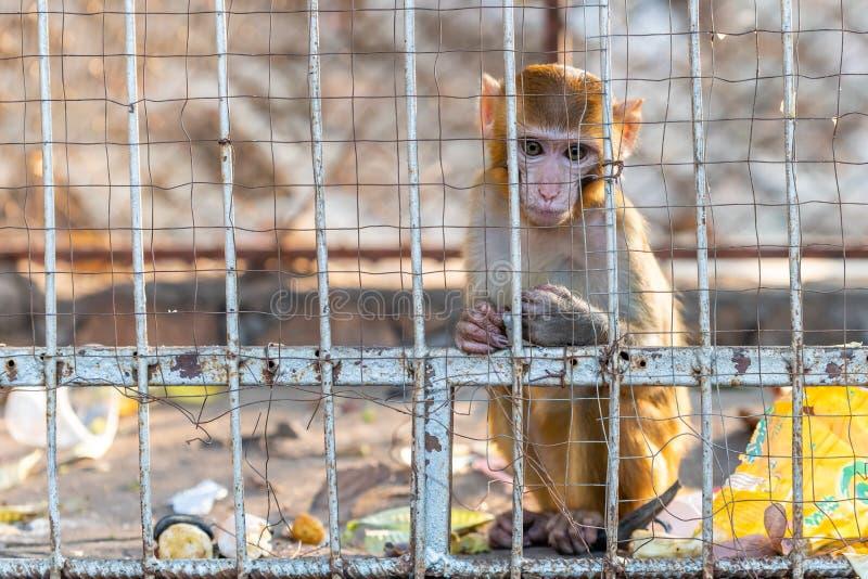 Λίγο μόνος πίθηκος του ρήσου μακάκου macaque κάτω από την αιχμαλωσία στοκ εικόνες με δικαίωμα ελεύθερης χρήσης