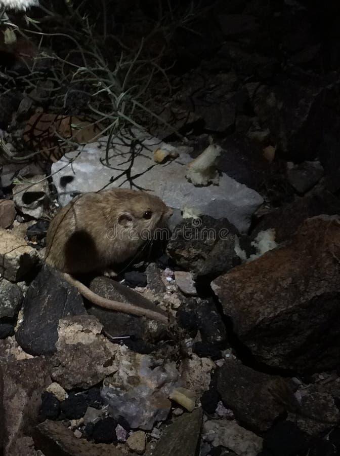 Λίγο ποντίκι ερήμων στοκ φωτογραφία με δικαίωμα ελεύθερης χρήσης
