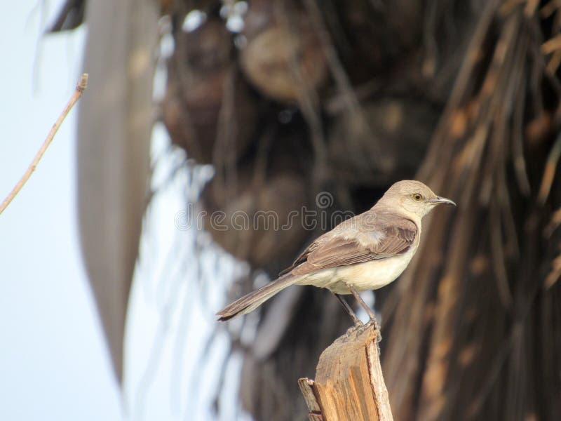 Λίγο πουλί Thrasher εσκαρφάλωσε πάνω από ένα ξηρό κολόβωμα δέντρων στοκ εικόνα με δικαίωμα ελεύθερης χρήσης
