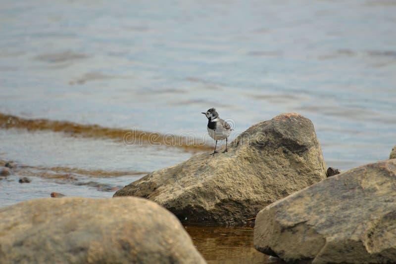 Λίγο πουλί wagtail στους βράχους στοκ φωτογραφία