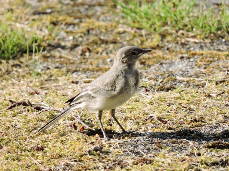 Λίγο πουλί wagtail στοκ εικόνα με δικαίωμα ελεύθερης χρήσης