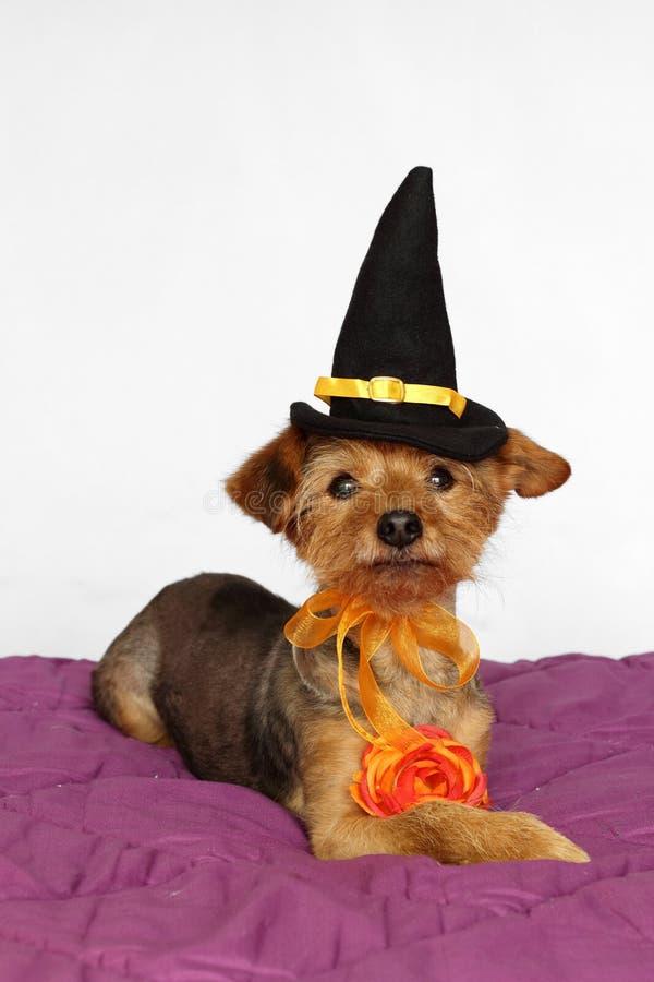 Λίγο σκυλί που ντύνεται σε ένα καπέλο μαγισσών και ένα πορτοκαλί λουλούδι για το κόμμα αποκριών στοκ φωτογραφίες με δικαίωμα ελεύθερης χρήσης