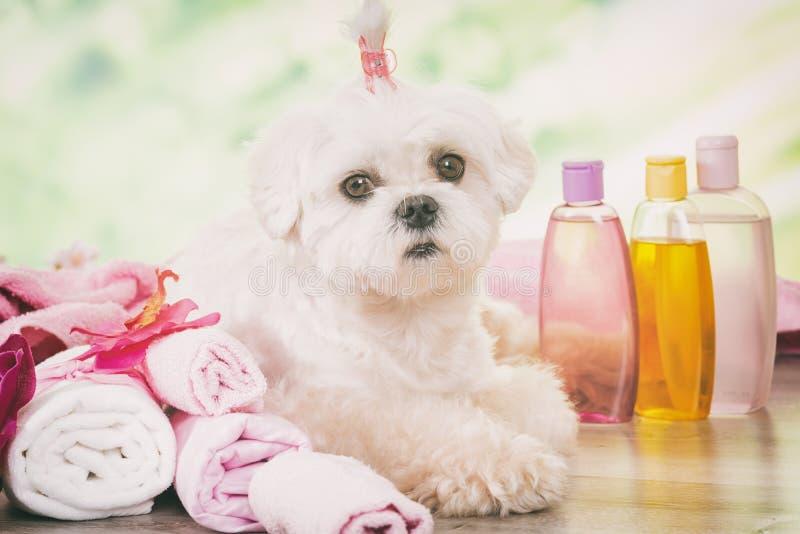 Λίγο σκυλί στη SPA στοκ φωτογραφίες