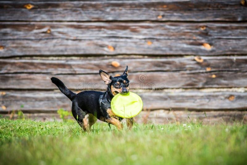 Λίγο σκυλί φέρνει το παιχνίδι στοκ εικόνες με δικαίωμα ελεύθερης χρήσης