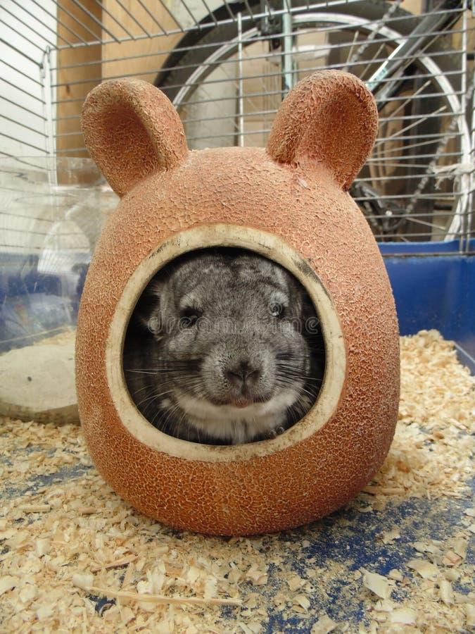 Λίγο τσιντσιλά είναι ένα εξωτικό κατοικίδιο ζώο με τη μαλακή μαλακή τρίχα στοκ εικόνες