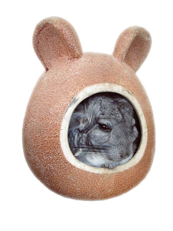 Λίγο τσιντσιλά είναι ένα εξωτικό κατοικίδιο ζώο με τη μαλακή μαλακή τρίχα στοκ φωτογραφίες με δικαίωμα ελεύθερης χρήσης