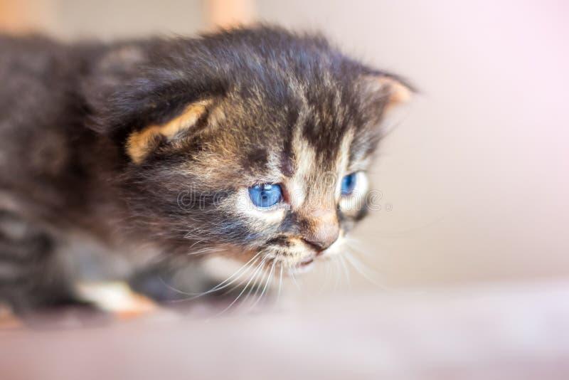 Λίγο χαριτωμένες δορές λίγων μπλε γατακιών στην ενέδρα κατά τη διάρκεια του παιχνιδιού Δημόσιες σχέσεις στοκ εικόνα