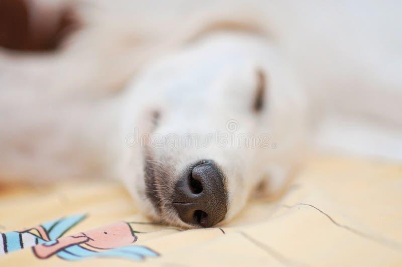 Λίγο χαριτωμένο καθαρής φυλής άσπρο περσικό greyhound σκυλιών κουταβιών saluki χαλάρωσε και ύπνος ήρεμα στο κρεβάτι στοκ φωτογραφία