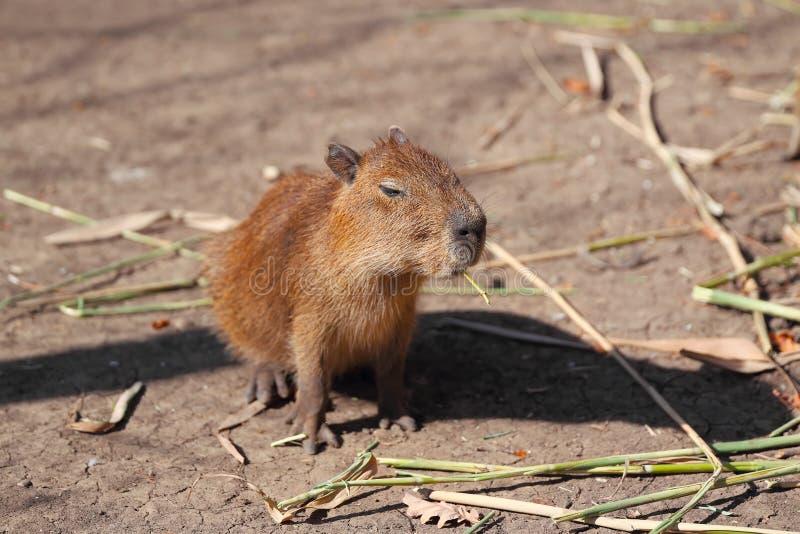 Λίγο capybara στοκ εικόνες