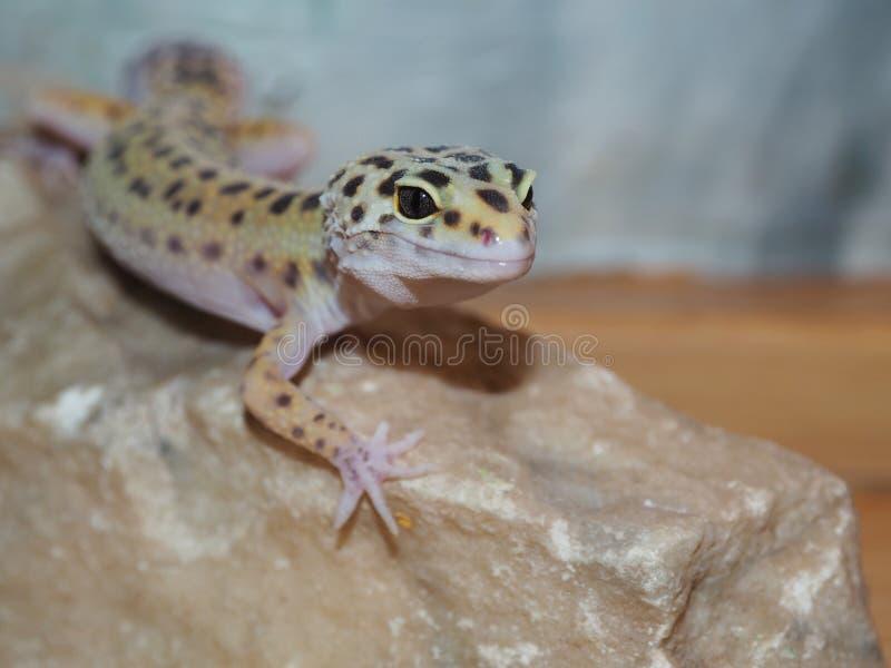 Λίγο gecko λεοπαρδάλεων σε μια πέτρα κλείστε επάνω στοκ εικόνες